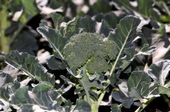 Brócoli queretano